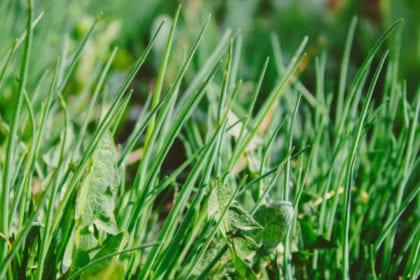 Högt grönt gräs